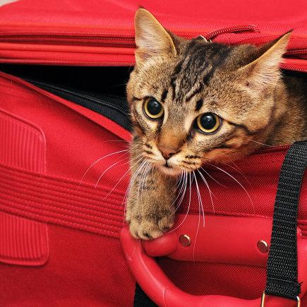 Shutterstock nuotr./Sėlinanti katė