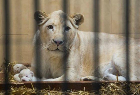 zoosafari.com nuotr./Lenkijos Borysevo zoologijos sode pasaulį išvydo trys baltieji liūtukai.