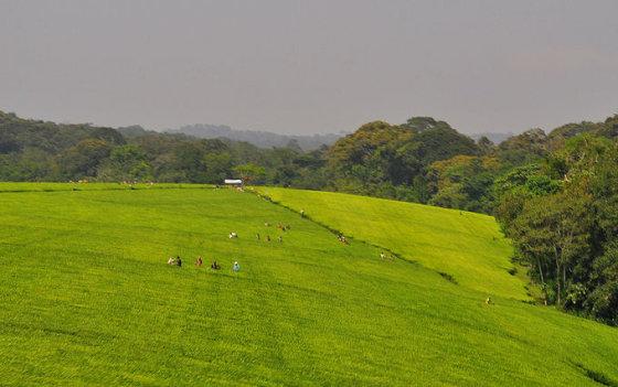 M.Vadišio nuotr./Ugandos arbatos plantacijos
