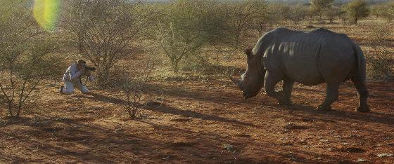Viktoro drąsa fotografuojant baltuosius raganosius. Botsvana