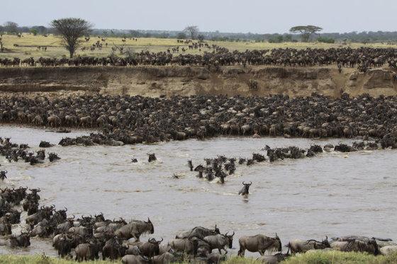 Dryžuotųjų gnu migracija per Maros upę, Tanzanija.