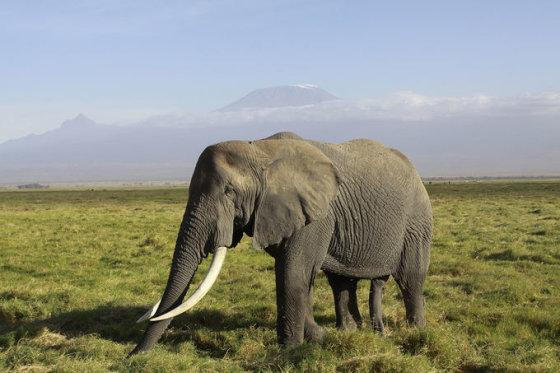 Kilimandžaras. Afrikinis dramblys. Kenija