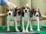 "AFP/""Scanpix"" nuotr./Klonuoti šunys"