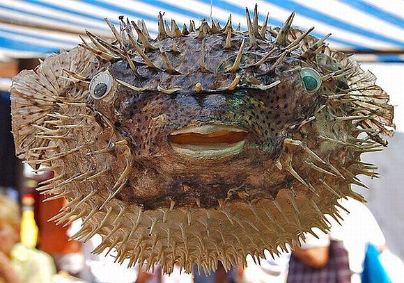 Может быть, это и не рыба Фугу, но все равно лучше не есть - живее...