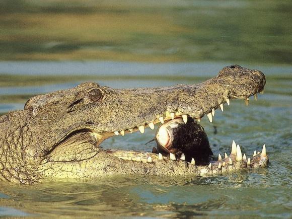 Indijos krokodilas