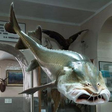 И эта рыбка будет мелочью пузатой в сравнении с белугой.