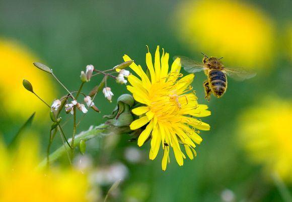 Vasarą ypač suaktyvėja tie vabzdžiai, kurie gelia – bitės, širšės ir vapsvos.