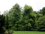 E.Ovčarenko nuotr./Tulpmedis yra vienas seniausių augalų pasaulyje. Natūralioje gamtoje jį dabar galima rasti Šiaurės Amerikoje.
