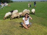Asmeninio archyvo nuotr./Atrakcija turistams, apsistojantiems kempinguose Olandijoje, – tam tikrą valandą aplink išleidžiamos pasiganyti avys.