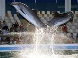 Jūrų muziejaus nuotr./Kol vyks delfinariumo rekonstrukcija, delfinai kartu su savo treneriais leis laiką Graikijoje, Atikos zoologijos sode.