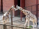 Kęstučio Vanago/BFL nuotr./Žirafos