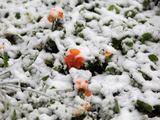 """Reuters""/""Scanpix"" nuotr./Sniego užpustytos gėlės"