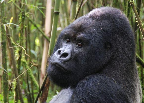 sxc.hu/Ruandos pasididžiavimas - kalnų gorilos.
