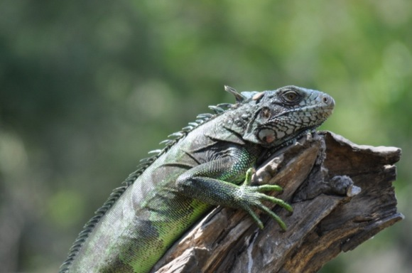 Greitgrisim.lt/Iguana