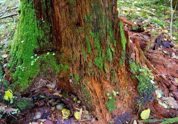 Sutrūnijęs medžio kamienas