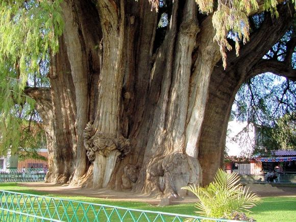 Seniausias medis pasaulyje