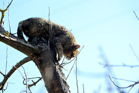 Medžiojantis katinas