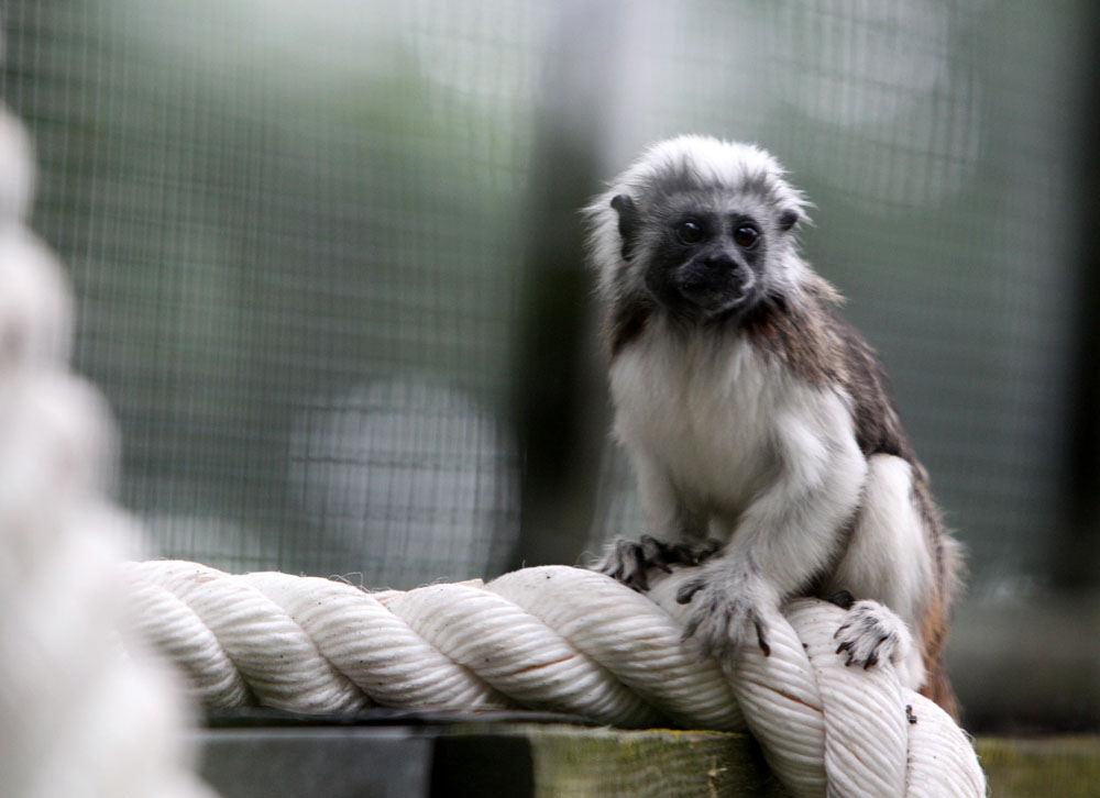 Pietų amerikos atogrąžų miškų voverinė beždžionė