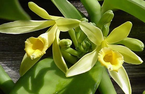 Iš šio orchidėjų šeimos augalo išgaunama vanilė.