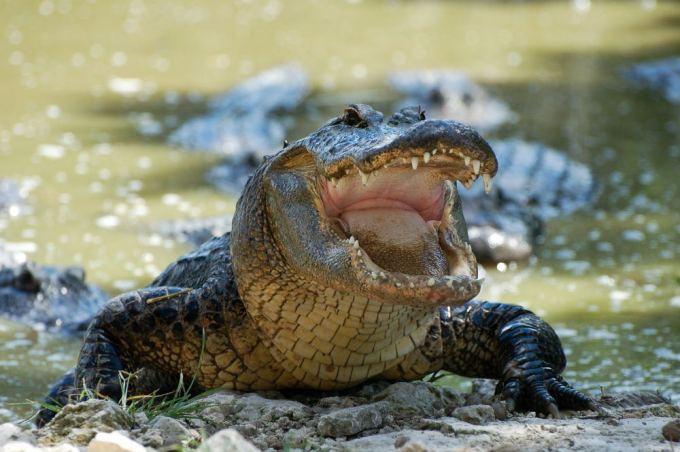 Fotolia nuotr./Krokodilas