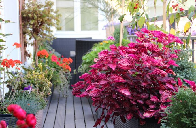 Sodininkai nuogaliai vent sodininkavimo be drabu i for Arbuste en pot pour terrasse