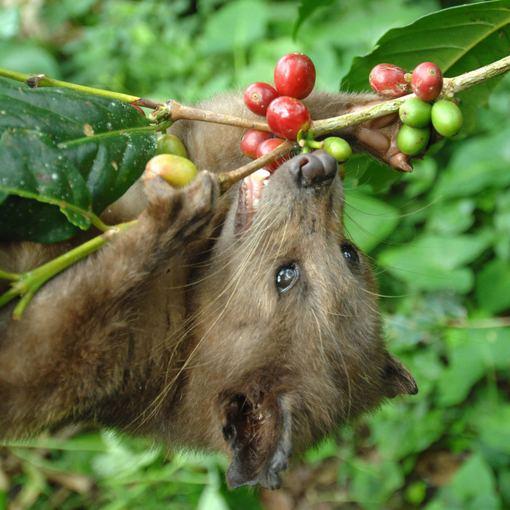 Brangiausia pasaulyje kava gaminama Indonezijoje
