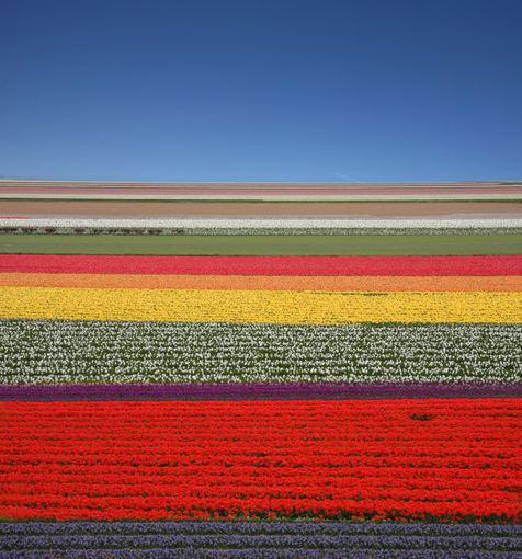 Fotolia nuotr./Gėlių jūra, Olandija