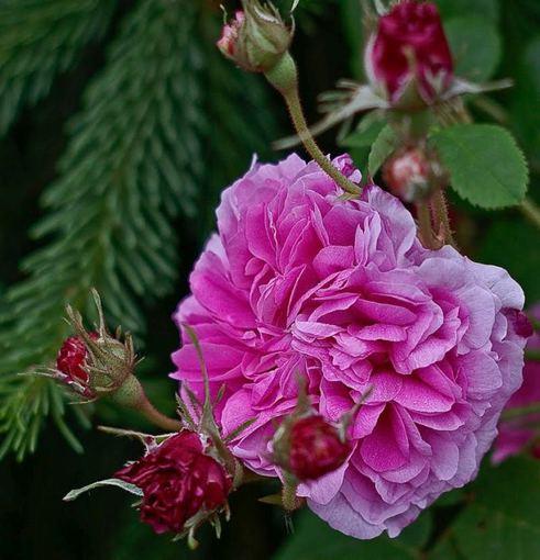 Nijolės Karpavičienės nuotr./\'Pink Leda\' rožės