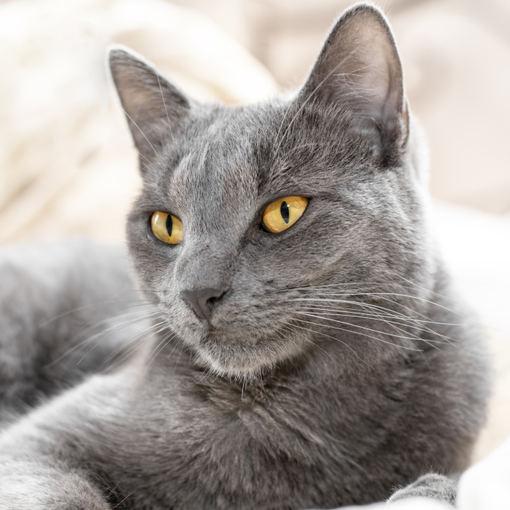 Fotolia nuotr./Rusų melsvoji (mėlynoji) katė