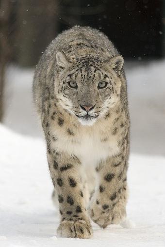 123rf.com nuotr./Snieginis leopardas