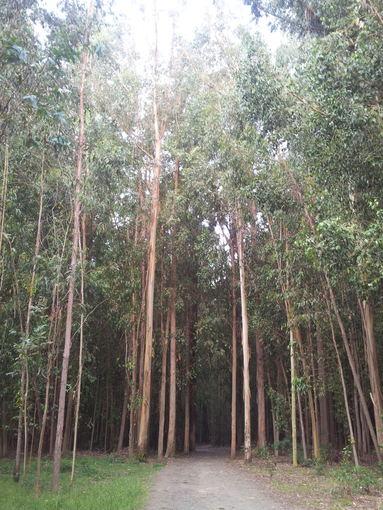 Ievos Vaitkevičiūtės nuotr./Galisijos miškai, užsodinti eukaliptais